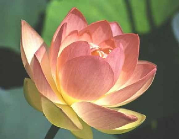 the lotus flower, Beautiful flower